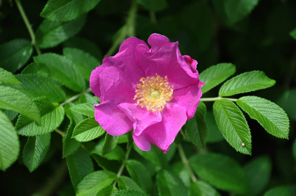 flora, blad, sommer, haven, wildflower, natur, vilde rose, Støvvejen