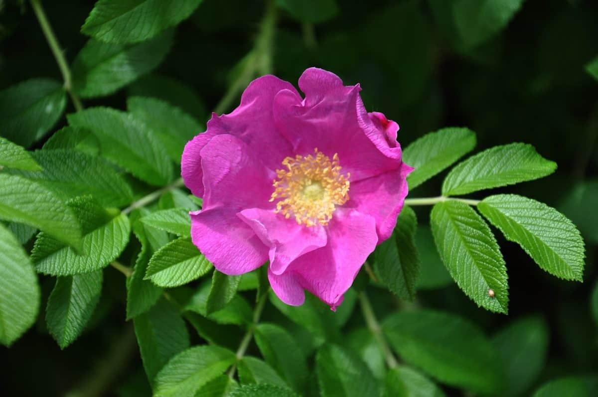 Flora, Blatt, Sommer, Garten, Wildblumen, Natur, Wildrose, Stempel