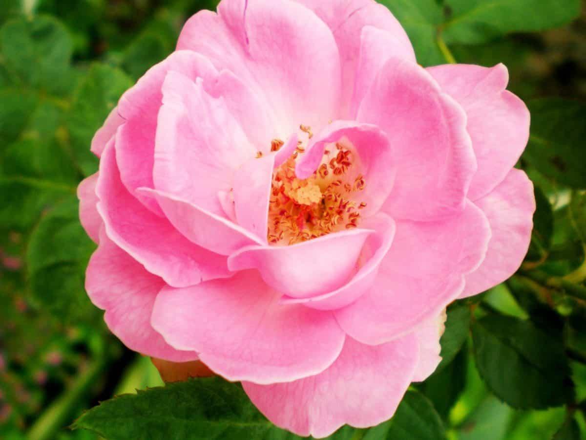 Blume, Blatt, Wildrose, Garten, Natur, Flora, Sommer, Pflanze