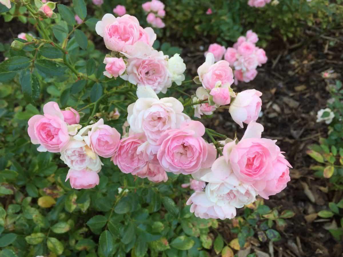 églantier, feuille, horticulture, fleurs sauvages, jardin, flore, nature, été, pétale