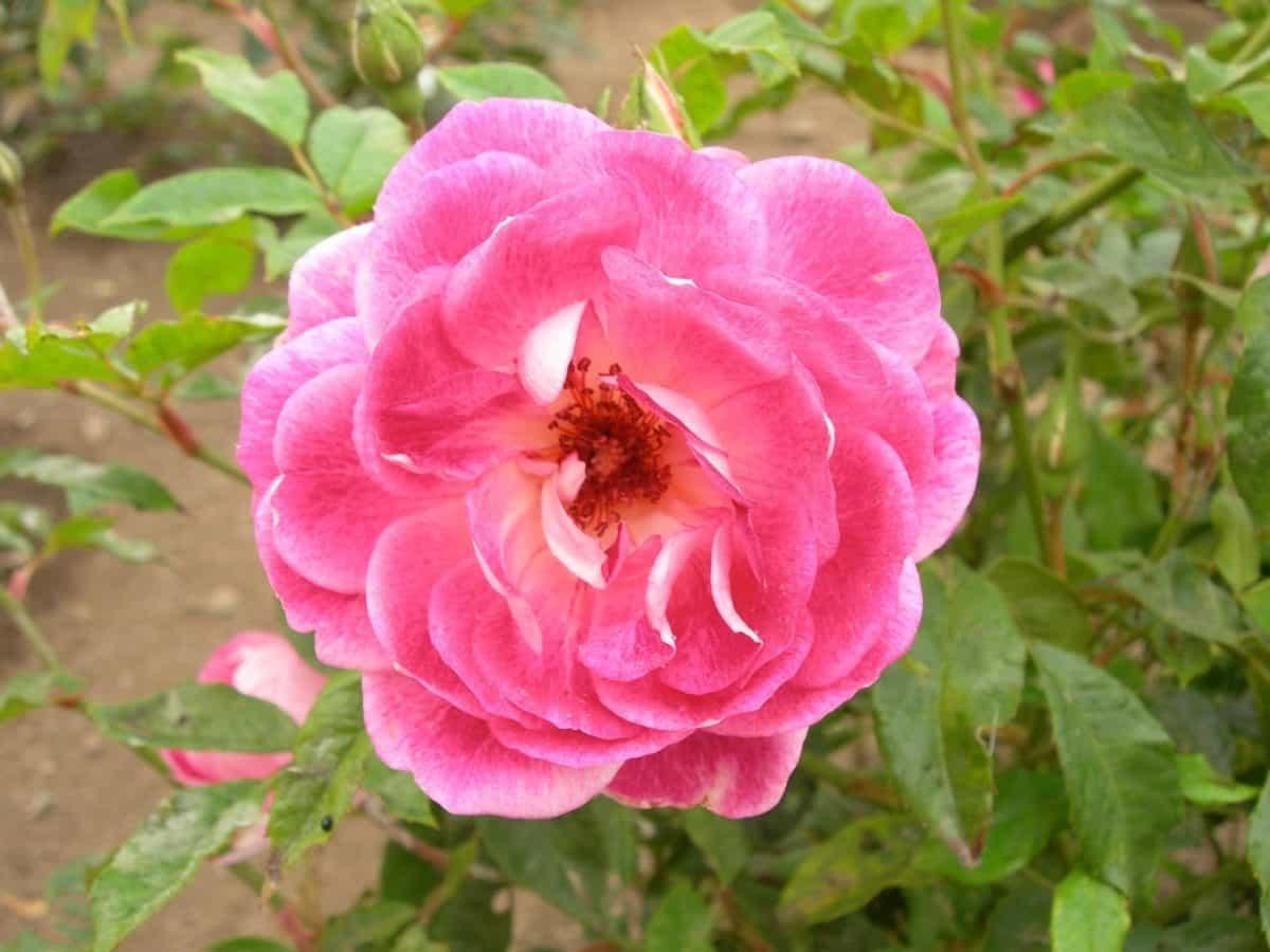 fleur, pétale, flore, été, jardin, feuille, nature, rose