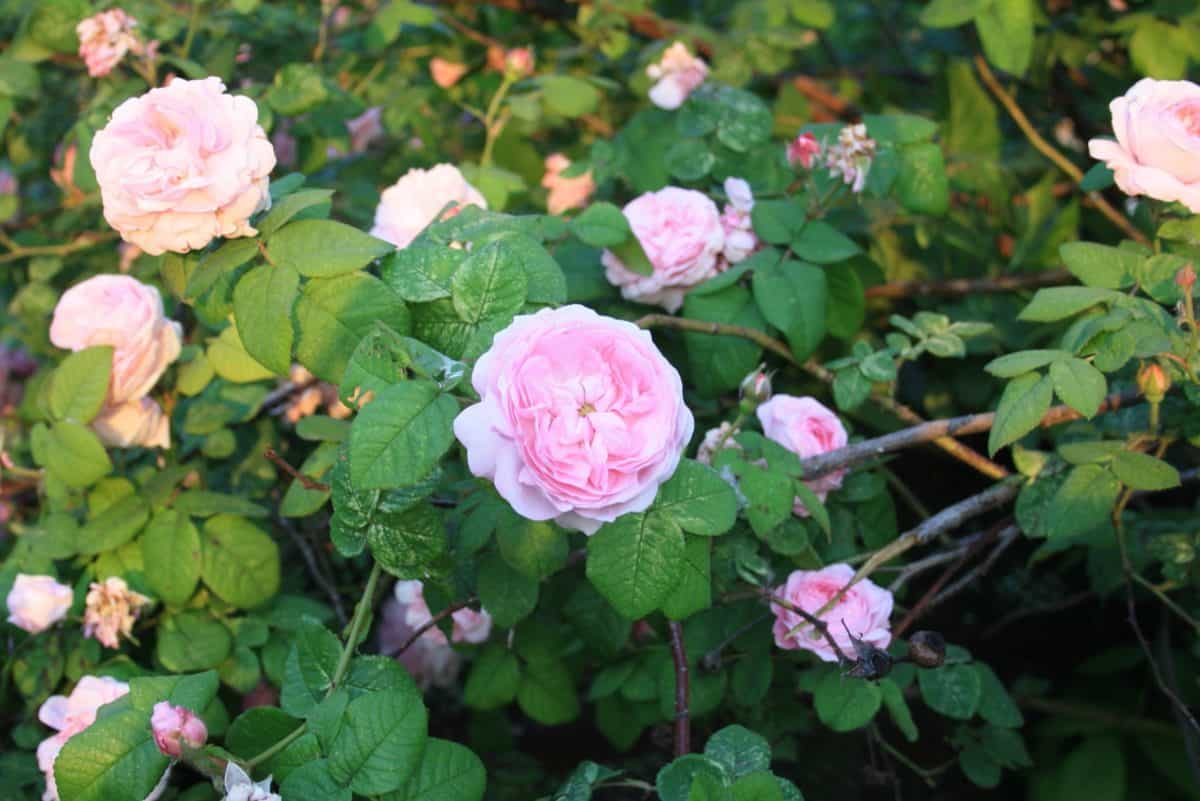 flora, jardín, naturaleza, hoja, flor, rosa, Pétalo, planta, rosa