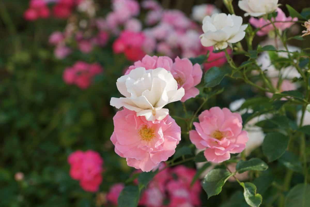orticoltura, flora, foglia, giardino, natura, estate, fiore, giorno, rosa, petalo
