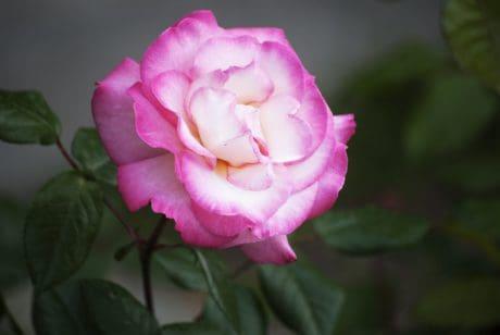 pétale, fleur, flore, nature, feuilles, rose, lumière du jour, rose