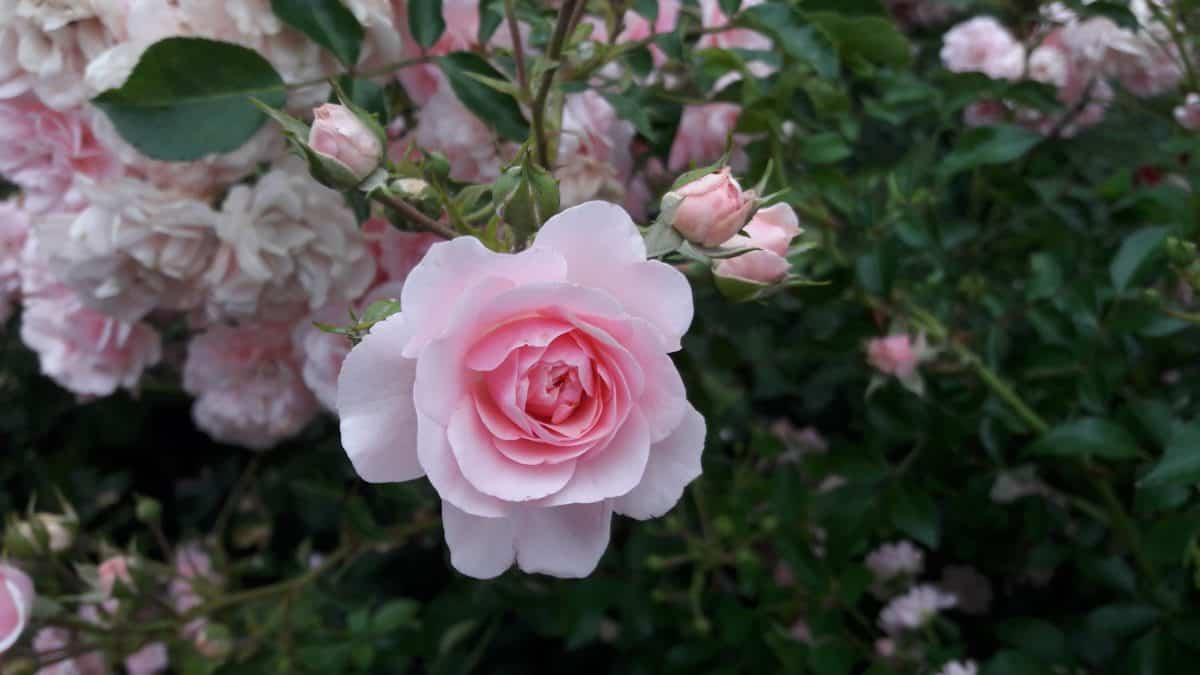 flower, petal, garden, nature, leaf, flora, rose, plant, pink