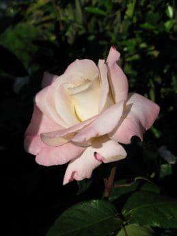 blanco, rosa, naturaleza, Pétalo, flora, horticultura, jardín, flor, hoja, planta, rosa