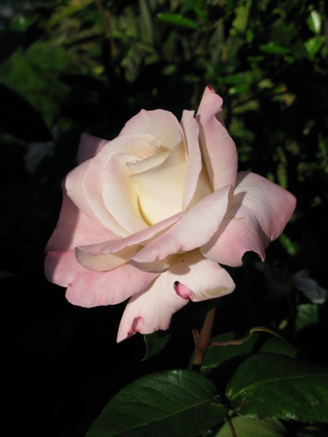white rose, nature, petal, flora, horticulture, garden, flower, leaf, plant, pink