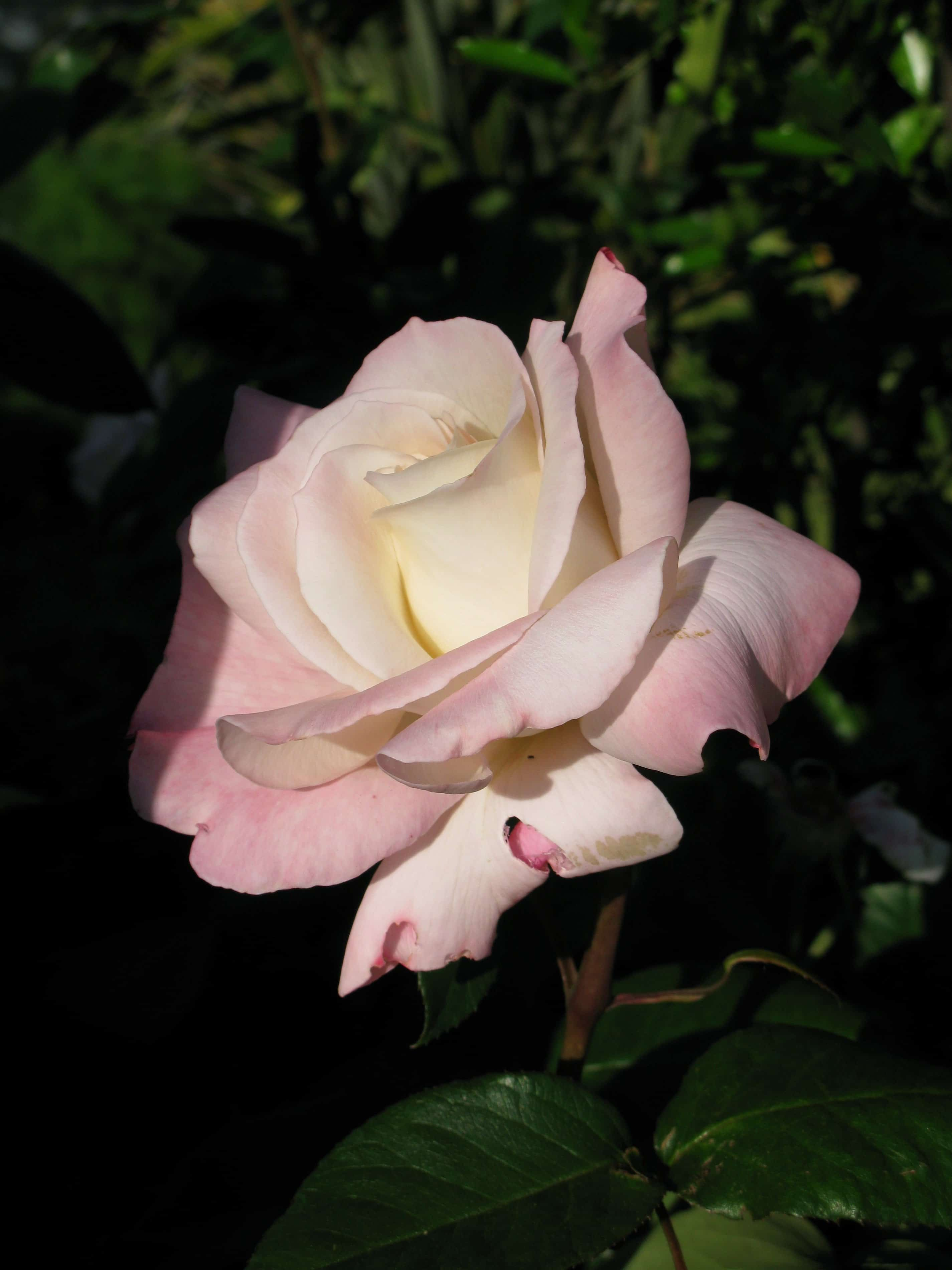 Free Picture White Rose Nature Petal Flora Horticulture Garden