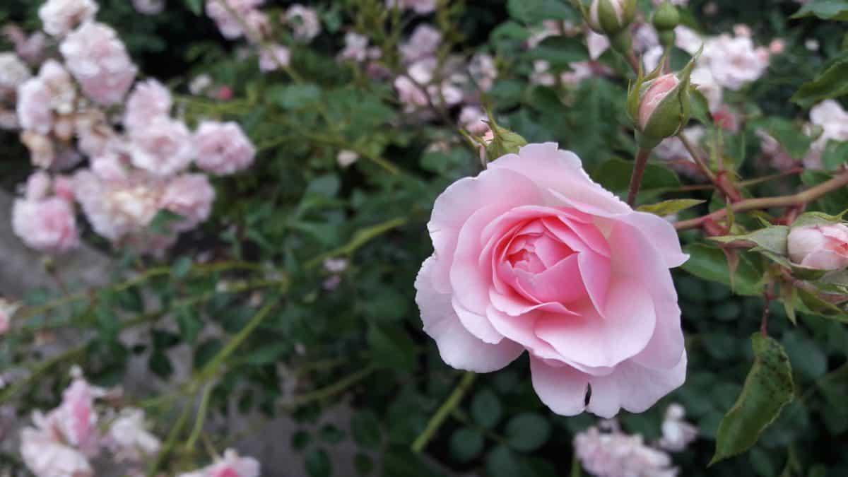 nature, leaf, rose, flora, flower, petal, garden, plant, pink