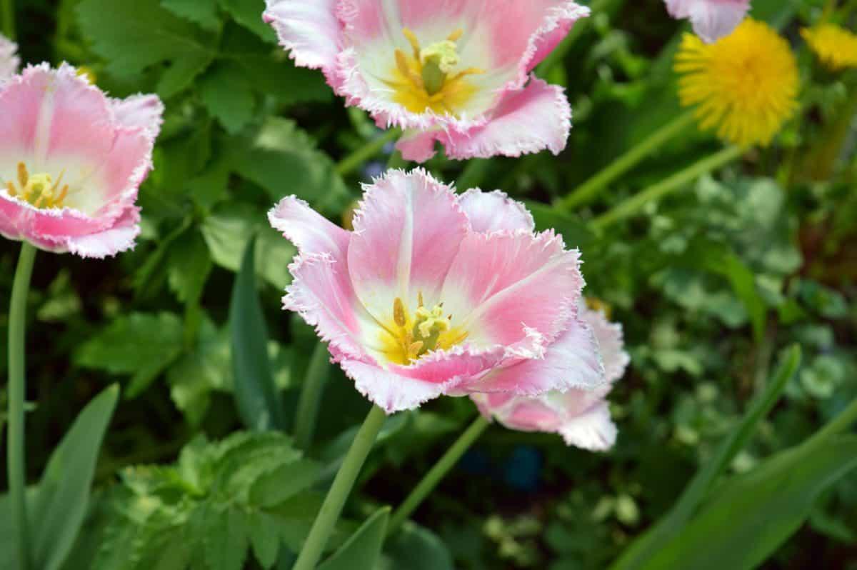 Flora, natura, giardino, estate, foglia, wildflower, rosa, pianta