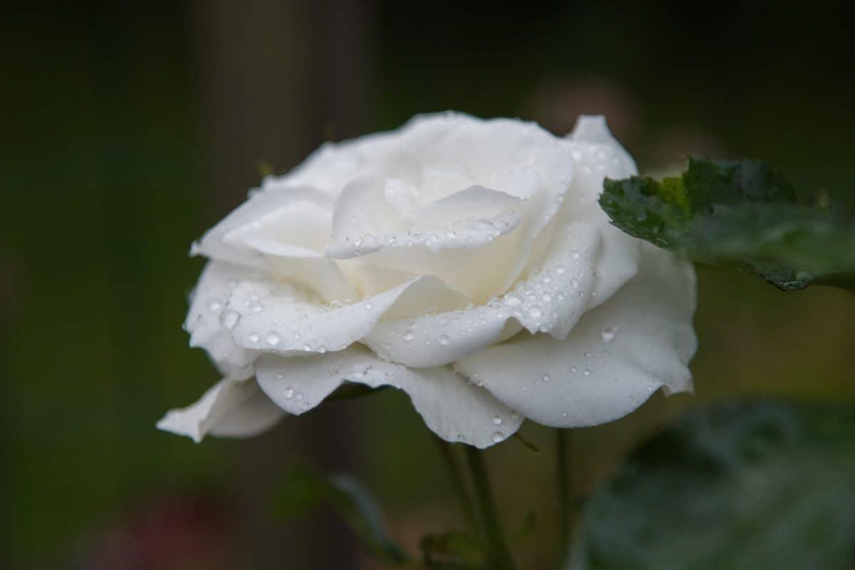 flore, nature, feuilles, fleur, rose blanche, macro, rosée, goutte d'eau, blanc