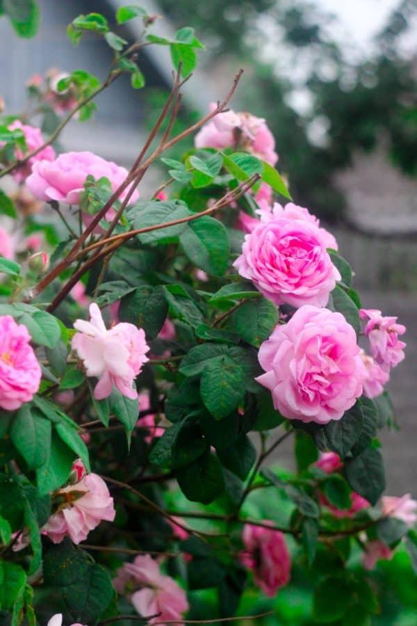 pétale, flore, rose, feuille, nature, jardin, horticulture, fleurs, été