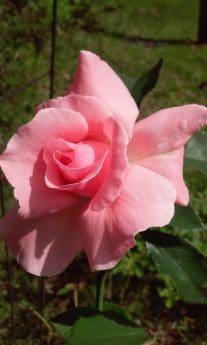giardino, foglia, rosa, petali, fiore, flora, natura, orticoltura