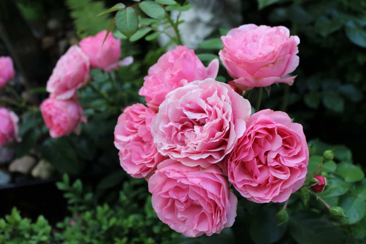 Garten, Blatt, Flora, Blumen, Rose, Gartenbau, Natur, Blütenblatt, Pflanze, rosa
