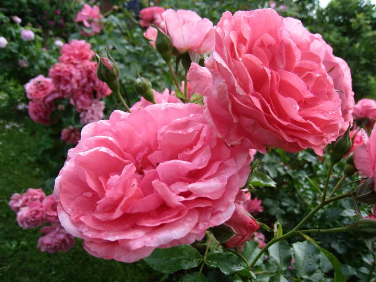 flor, rosa, naturaleza, jardín, ecología, Pétalo, hoja, flora, planta, rosa