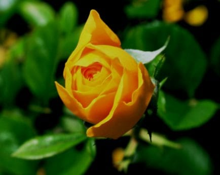 horticulture, yellow rose, leaf, nature, flora, flower, plant, garden, petal, blossom