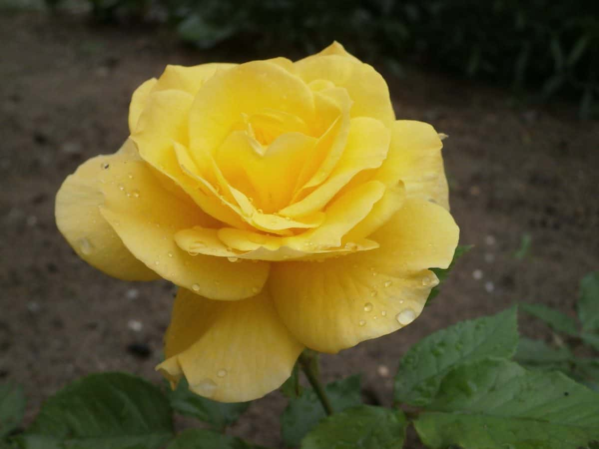 nature, flower, leaf, rose, plant, yellow, daylight, petal, bloom