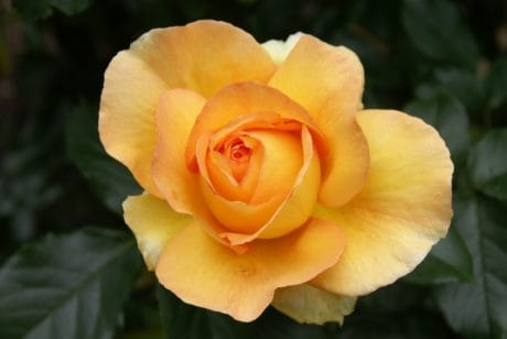 garden, flower, nature, yellow rose, leaf, petal, flora, plant, blossom