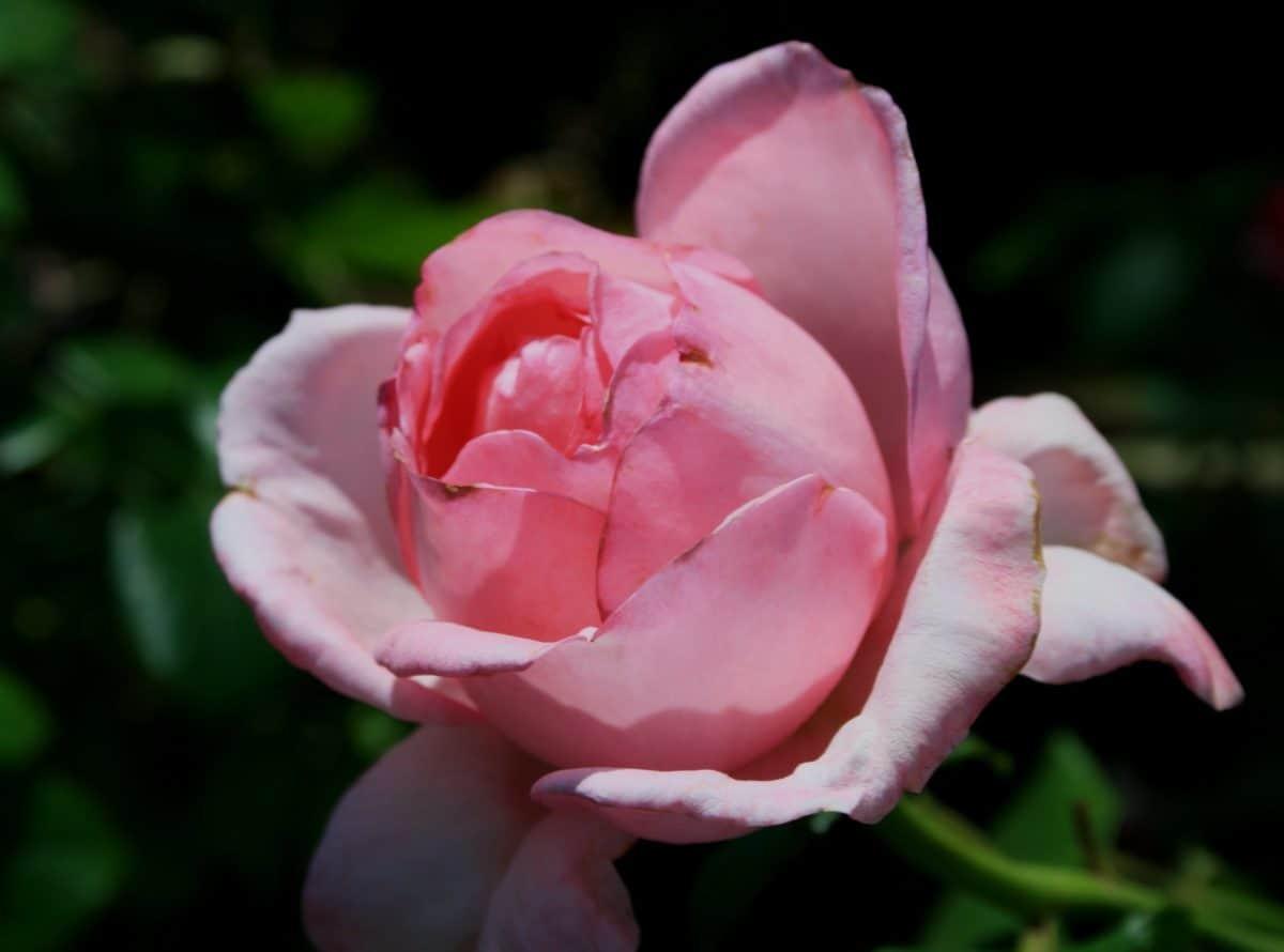 foglia, petalo, flora, natura, rosa, fiore, macro, pistillo, pianta