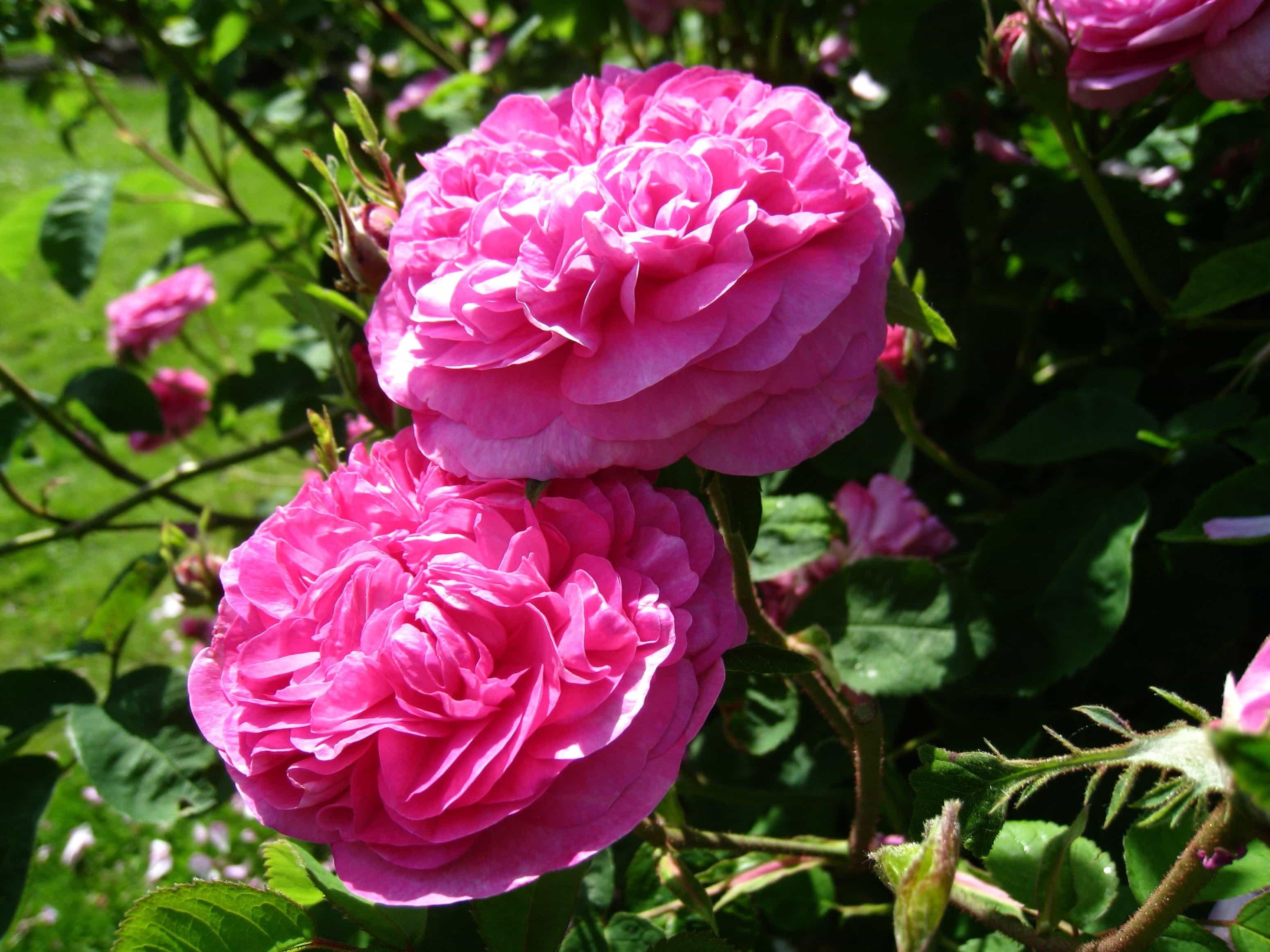 Imagen gratis jard n naturaleza flor hoja flora rosa for Pianta rosa