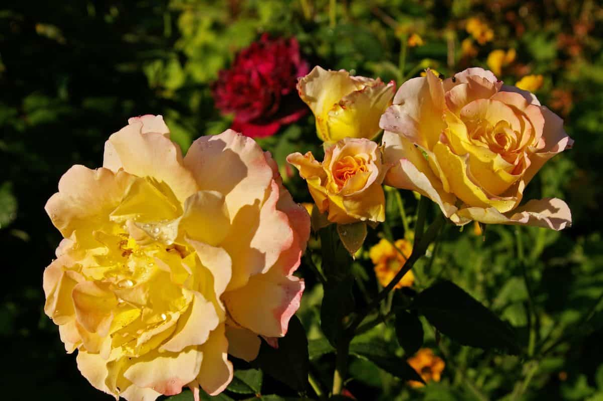 jardín, naturaleza, hoja, verano, flora, pétalos, flores silvestres, rosas