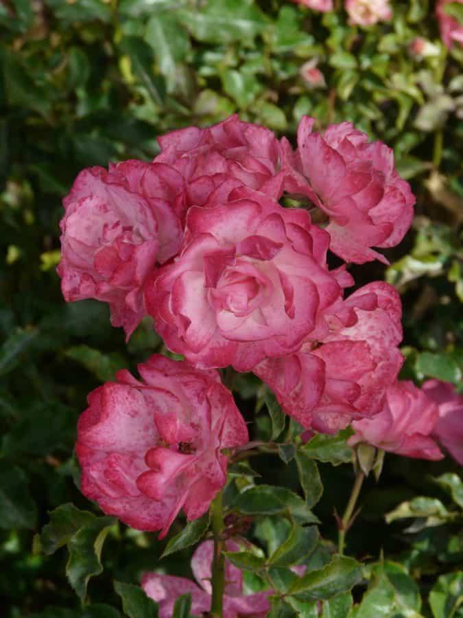 petalo, natura, fiore, giardinaggio, giardino, rose, flora, foglia, estate