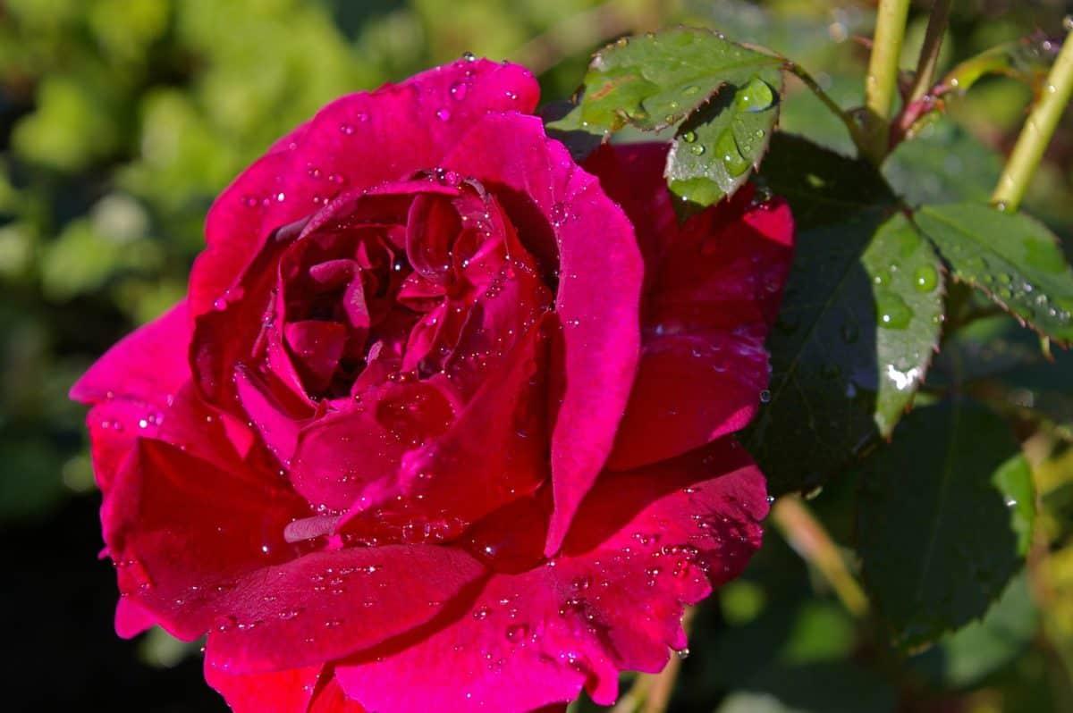 flores, verano, horticultura, humedad, gotas de lluvia, hoja, jardín, flora, rosa