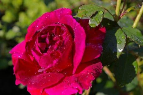 fiore, estate, orticoltura, umidità, goccia di pioggia, foglia, giardino, flora, rosa