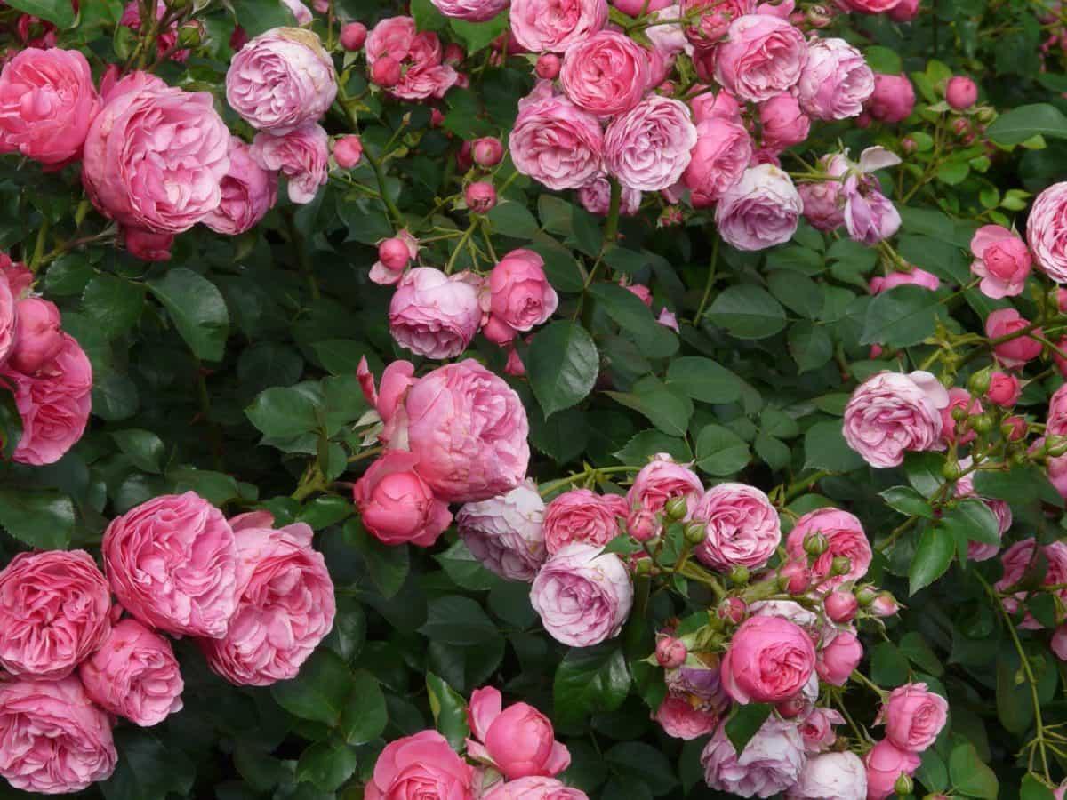 leaf, garden, rose, nature, petal, summer, flower, flora