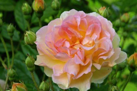 l'été, nature, écologie, flore, fleurs sauvages, pétale, feuille, rose sauvage, jardin