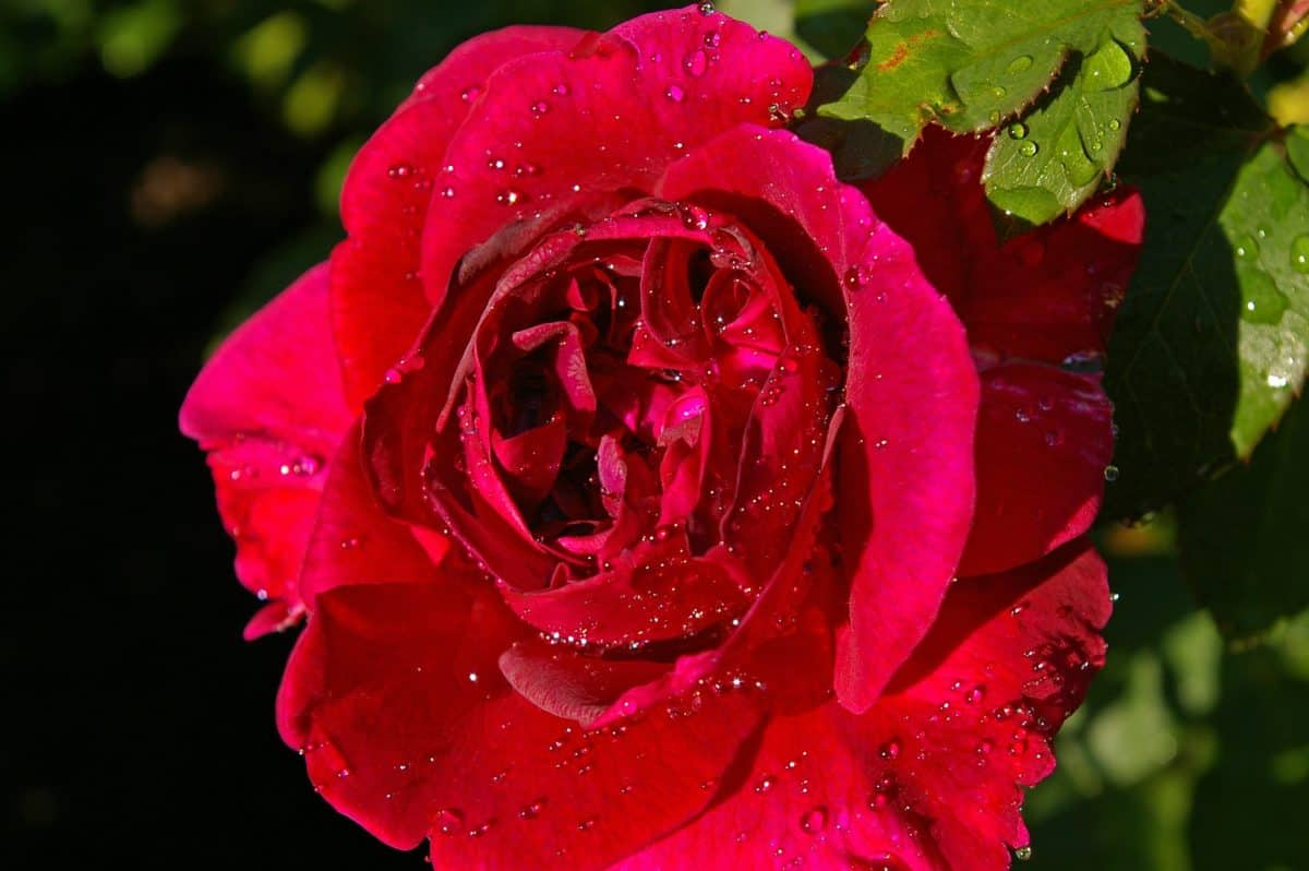 garden, rose, flower, flora, dew, summer, leaf, moisture, raindrop, petal, nature