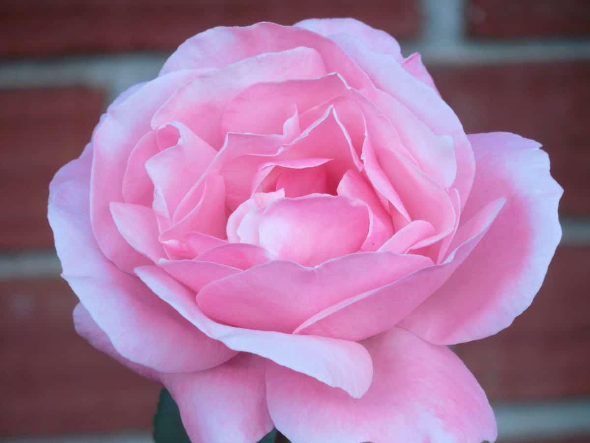 Flora, Natur, Blume, Blüte, Rose, Gartenbau, Tageslicht, rosa