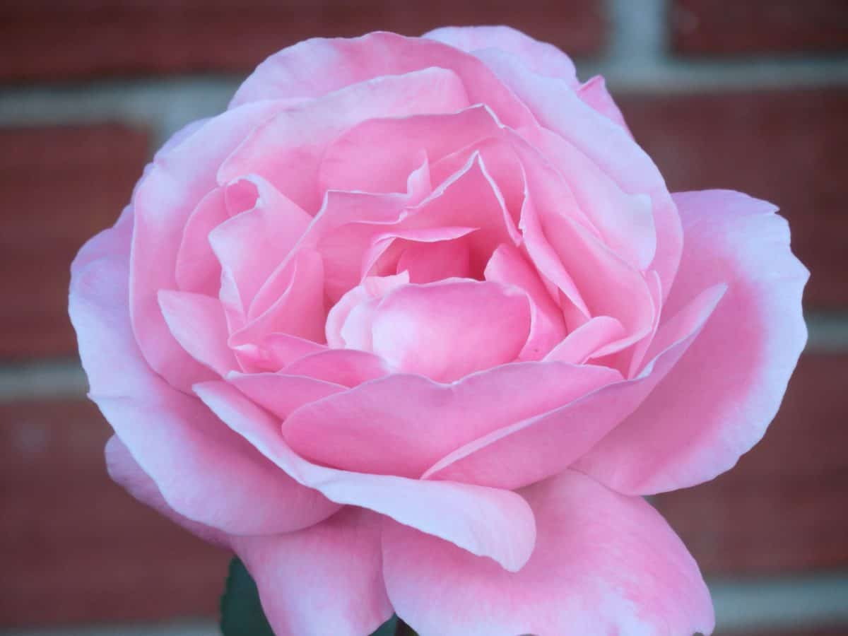 flora, nature, flower, petal, rose, horticulture, daylight, pink