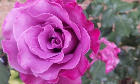 Rose, flora, blomst, kronblad, natur, anlegg, rosa, hage, blomst