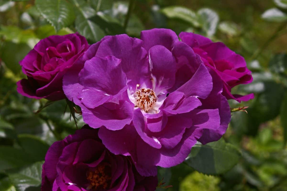 fleur, flore, horticulture, vert feuille, pétale, rose, jardin, l'été, nature