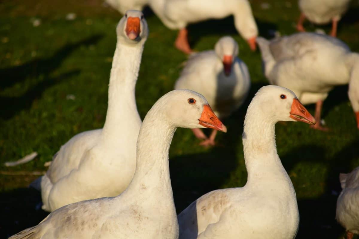 waterfowl, poultry, wildlife, bird, goose, animal