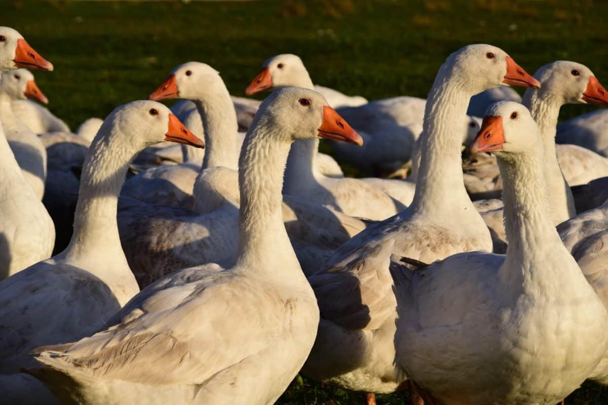 pato, pluma, aves de corral, pico, ganso, aves acuáticas, aves