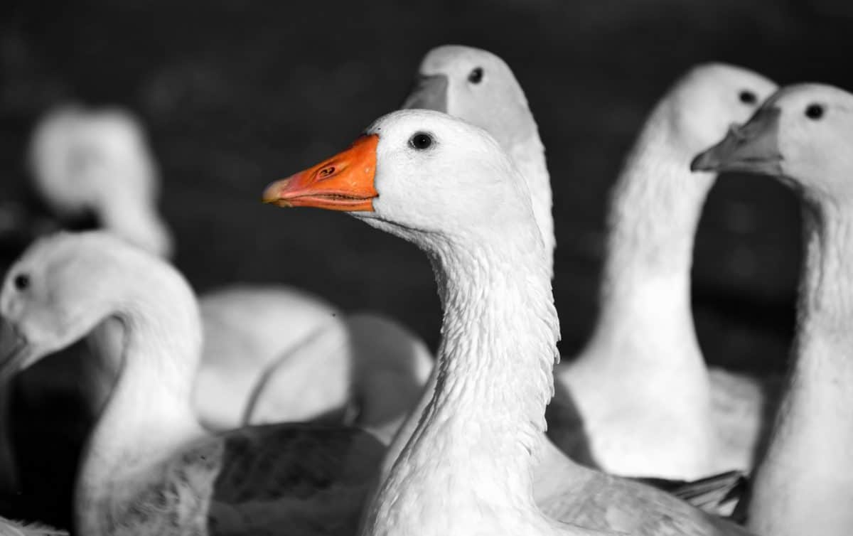 bird, animal, goose, wildlife, poultry, duck