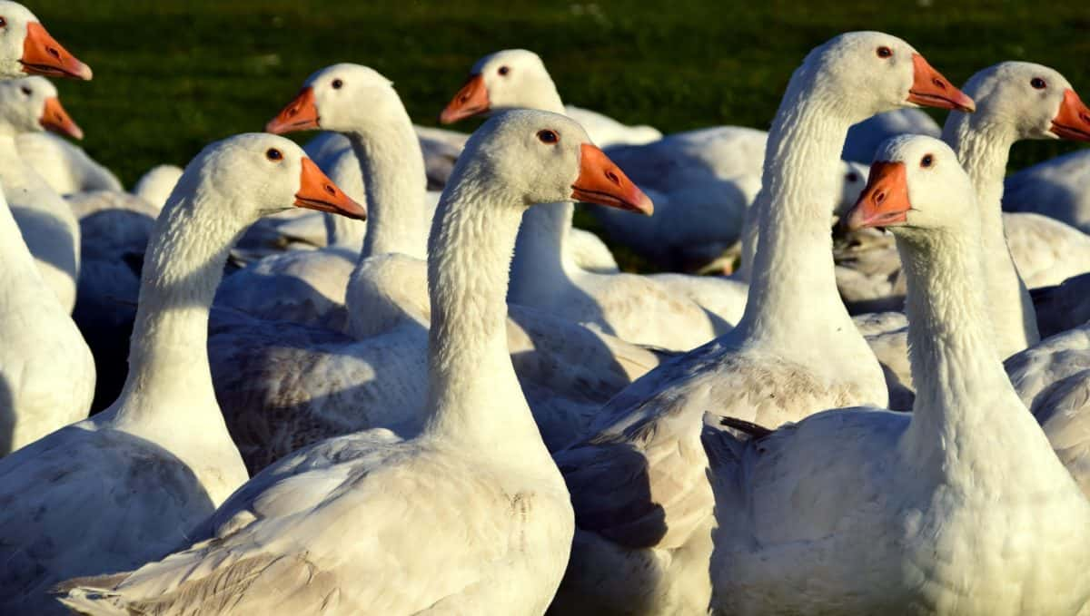 goose, poultry, nature, feather, waterfowl, bird