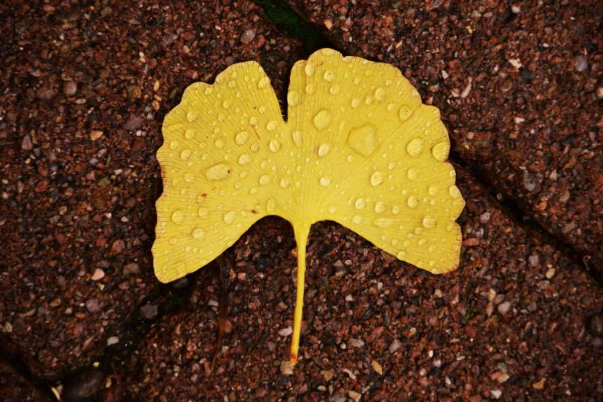 leaf, rain drops, water, wet, autumn, plant
