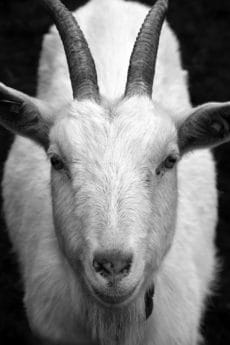 goat, animal, monochrome, livestock, portrait, head, ear