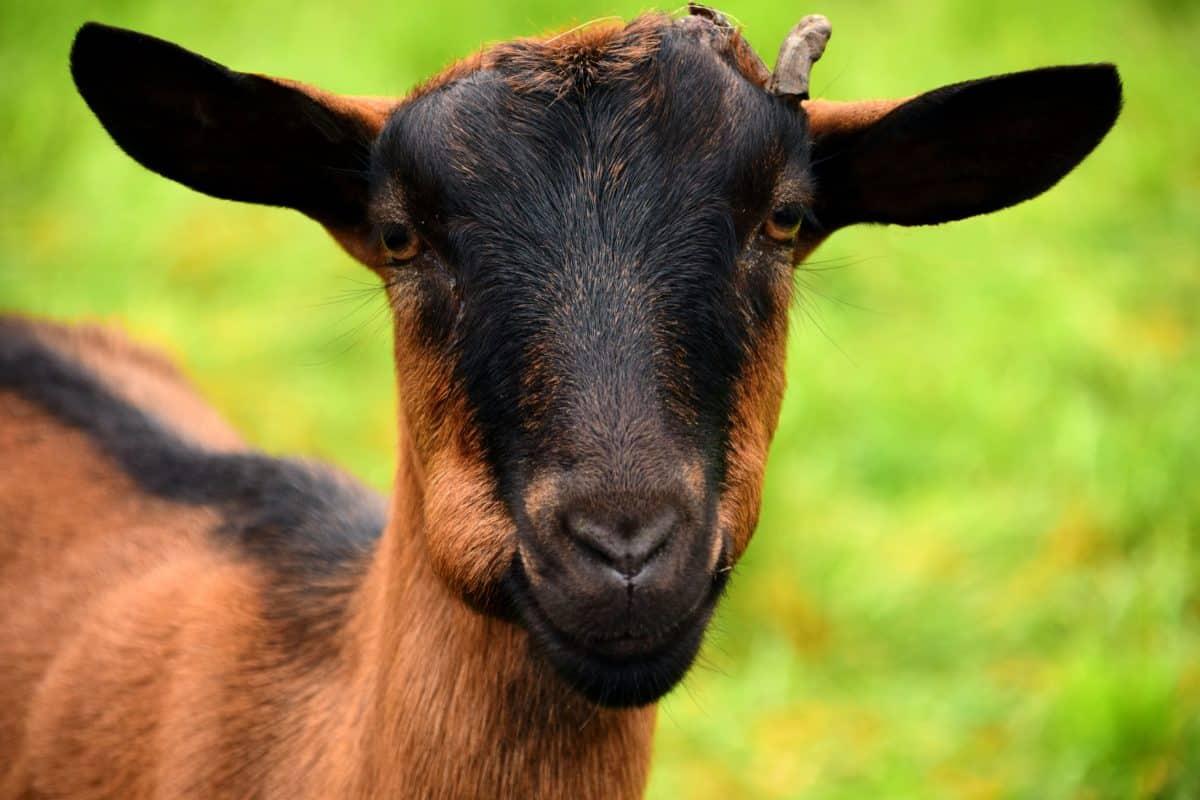 koza, hnedá, hlavy, zvierat, hovädzí dobytok, kožušiny