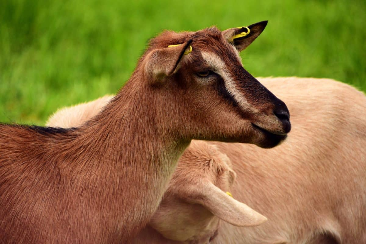 animal, wildlife, grass, goat, fur, head