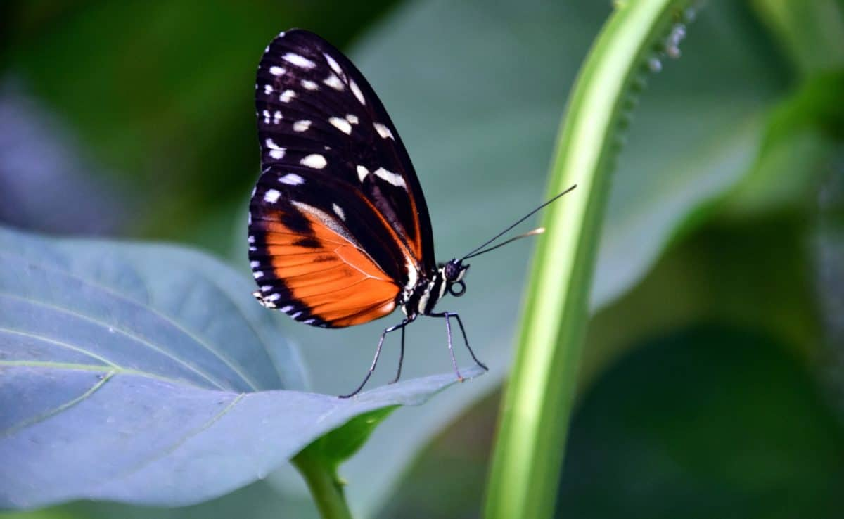 insect, butterfly, nature, leaf, colorful, wing, invertebrate, wildlife, flower