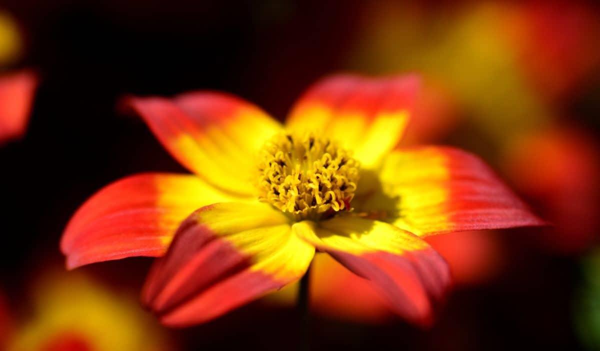nature, macro, fleurs sauvages, pétale, plante, jardin, flore, fleur