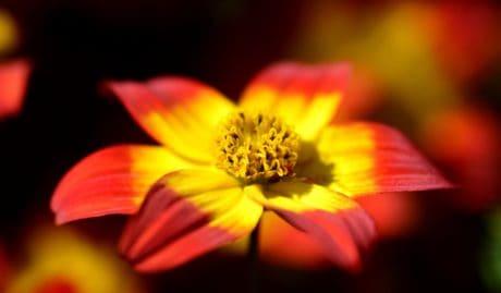 natura, macro, wildflower, petalo, pianta, giardino, flora, fiore