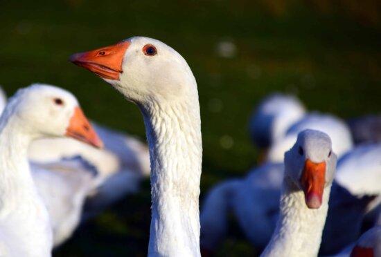 poultry, beak, bird, goose, nature, waterfowl