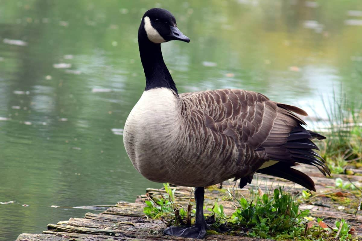 water, goose, lake, nature, waterfowl, bird
