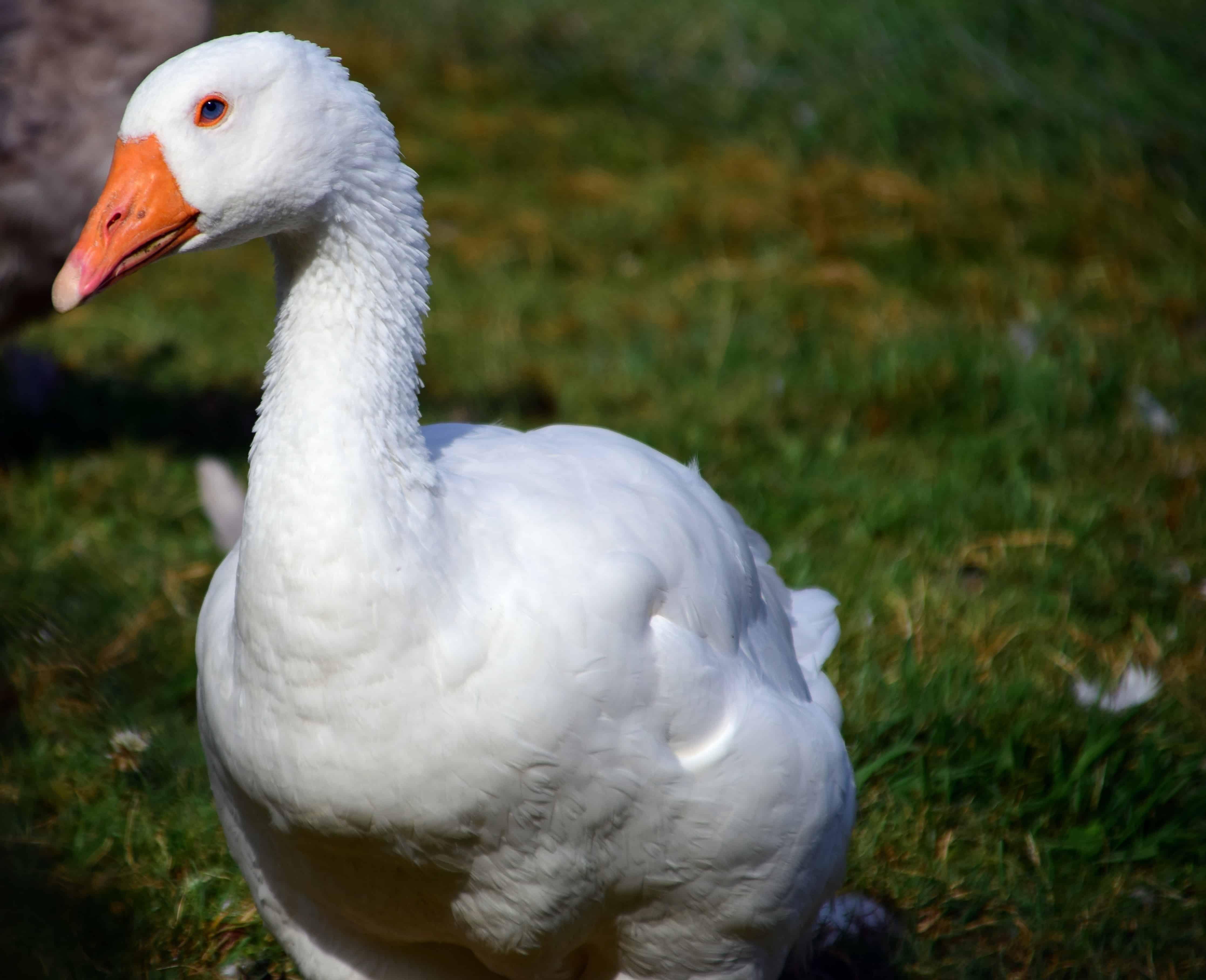индивидуальными картинки белого гуся раз
