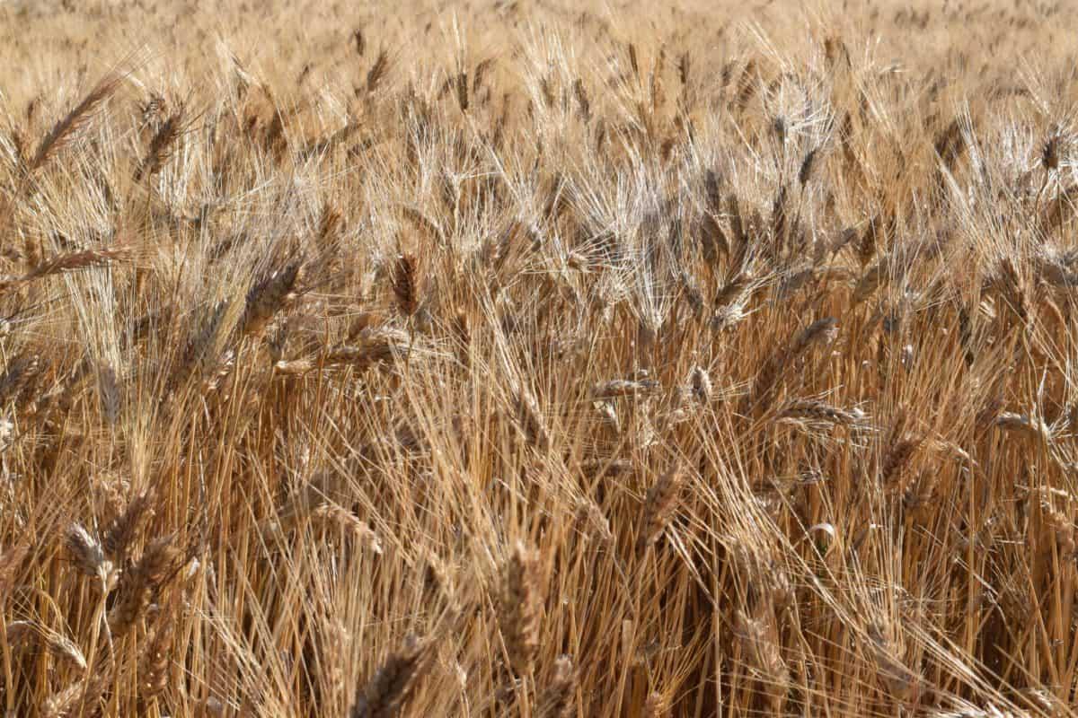 centeno, cereales, campo, campiña, paja, agricultura